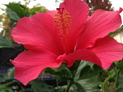 Späte Hibiskusblüte